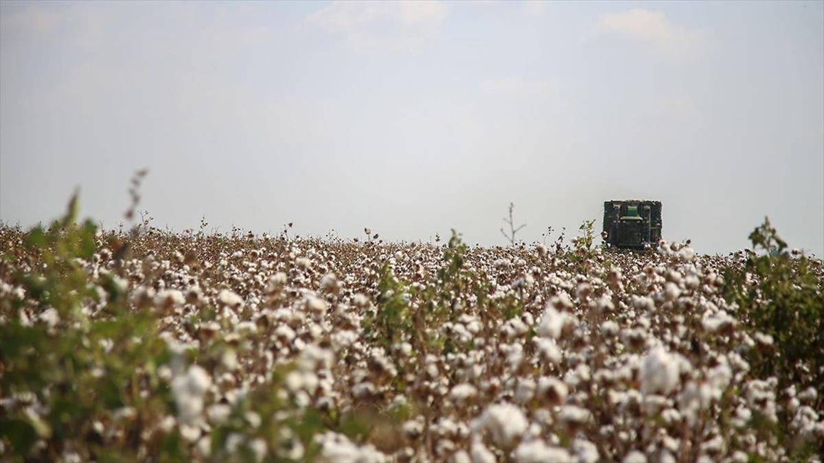 Pamuk, elyafından bitkisinin sapına kadar ekonomiye değer katıyor