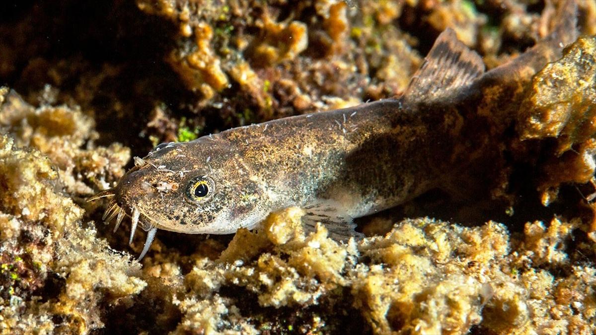 Bilim dünyasını etkileyen Van Gölü'ndeki balık türünün 'küçük mercan' olduğu belirlendi