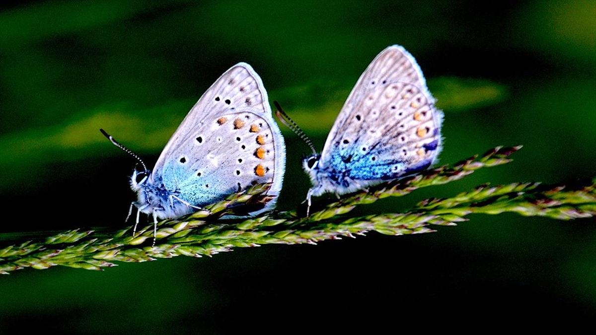 Sarıkamış'ta mavi, kızıl ve kahverengi kelebekler renk cümbüşü oluşturuyor