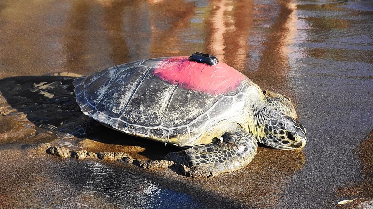 Uydudan izlenen yeşil deniz kaplumbağası 'Talay' 3 günde 30 kilometre yol aldı