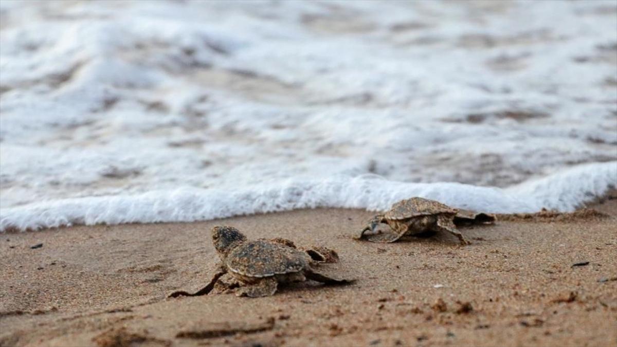 KKTC'de caretta caretta ve yeşil kaplumbağa yavruları denizle buluştu