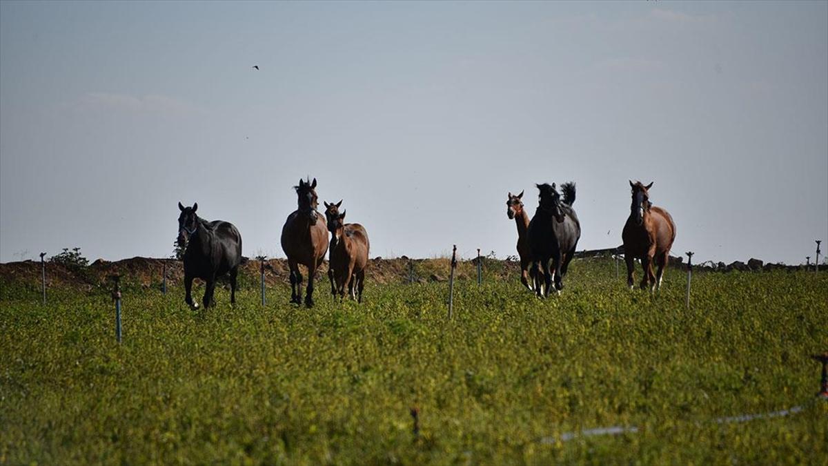 Hobi olarak başladığı at yetiştiriciliğinde şampiyon adayı tayları hipodroma hazırlıyor